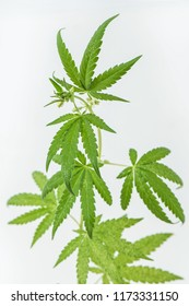 Cannabis indica (Cannabis sativa forma indica)  Cannabidaceae. Organic marijuana in a planting experiment. Medical