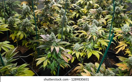 Cannabis indoor cultivation with different variety planted on plant pots held by green wood sticks with different plant diseases as lack of chlorine, iron, magnesium, calcium, nitrogen or phosphorus