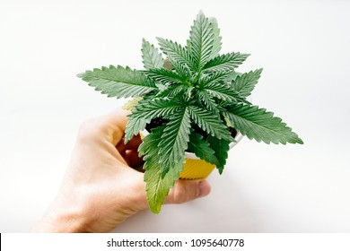 Cannabis, also known as marijuana among other names, is a psychoactive drug from the Cannabis plant intended for medical or recreational use