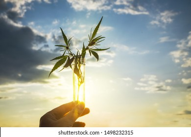 Cannabis leaf and bush in a test tube in hand background the sky. Concept of growing hemp for oil, medical purposes