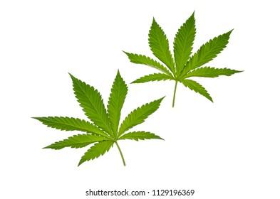 Cannabis Leaf green