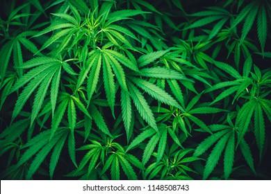 cannabis leaf grow grow marijuana green farm medicinal agriculture