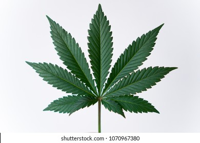 Cannabis leaf isolated on a white background.