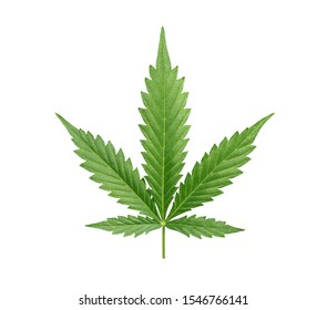 Cannabis leaf isolated on white