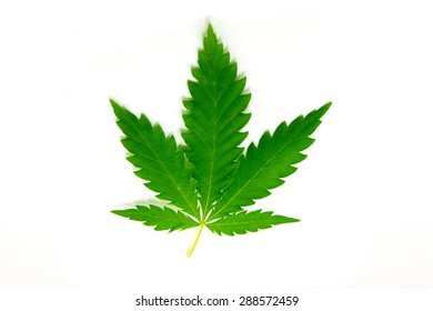Cannabis leaf is isolated on white background