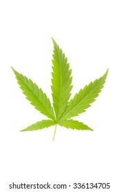 Cannabis leaf isolated on white background. Medical marijuana background.