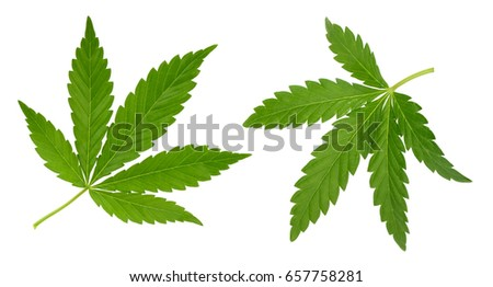 Cannabis leaf isolated on white without shadow