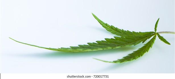 Cannabis leaf, marijuana isolated over white background.