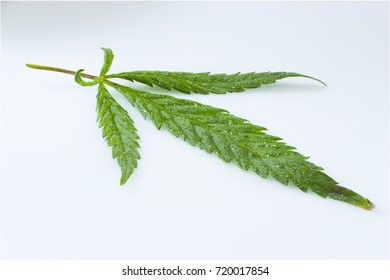 Cannabis leaf, marijuana isolated over white background.