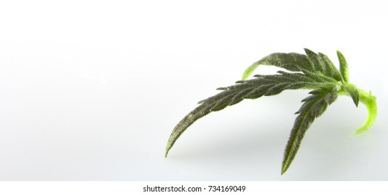 Cannabis leaf, marijuana isolated over white background