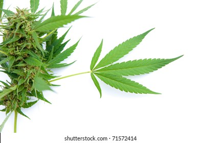 Cannabis leaf - Mariuana plant - hemp on white background