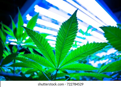 Cannabis Leaf on a Plant, Growing on a Marijuana Farm.