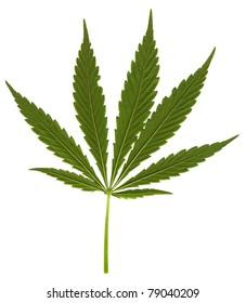 Cannabis leaf on white background
