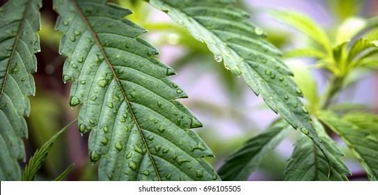 Cannabis Leaf Water Droplets