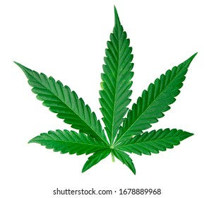 cannabis leave isolated on white background