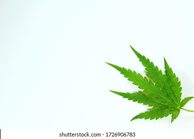 Cannabis leaves, Cannabis leaves on a white background.