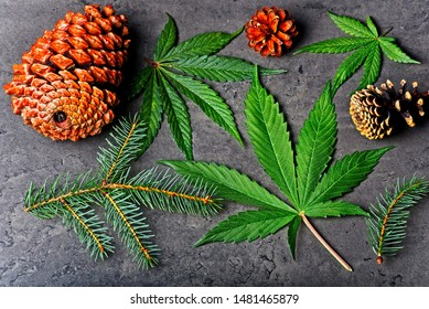 Cannabis leaves with pine cone and fir needles. Pinene terpene concept on gray background.
