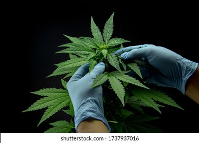 Cannabis leaves of a plant on dark background, CBD extract from hemp leaf, plants weed like marijuana, research for medical benefits, Concept of herbal alternative medicine, THC oil pharmaceutical.