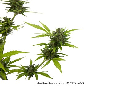 Cannabis leaves, white widow has a white background. Cultivation of medicinal marijuana.