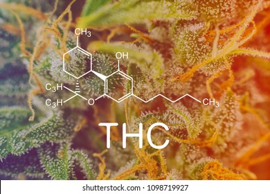 cannabis Macro shot on buds weed with sugar trichomes. concepts of grow and use of marijuana trichomes cbd thc medicinal. Concepts of legalizing herbs grow indoor