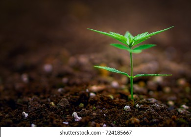Cannabis marijuana flower from seed