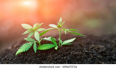 Cannabis marijuana flower from seed in sunshine. Small green leaves ganja close-up. High quality