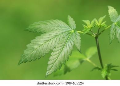 Cannabis Marijuana Leaf Fresh Green Outdoor Plant. Marijuana leaf, outdoor cannabis plant, fresh green growth shot in shallow depth of field.