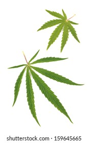 Cannabis, marijuana, leaves on a white background