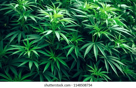 cannabis marijuana plant green leaf bush and beautiful background