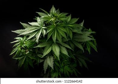 A Cannabis Marijuana Or Plant On Black Dark Isolated Background Ideal Wallpaper