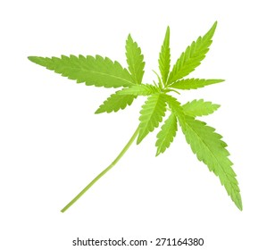 Cannabis, marijuana, plant on a white background