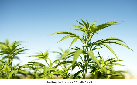cannabis medical leaves outdoors against blue sky background