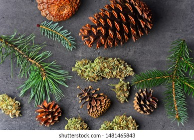 Cannabis nug / bud  with pine cones and fir and pine needles. Pinene terpene concept on gray background.