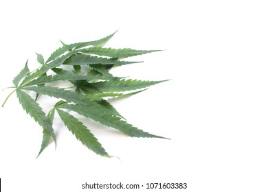 Cannabis on white background, Marijuana leaf isolate,Herbal,medication,serum,Syringe with cannabis leaf on white background