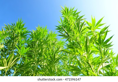 Cannabis plant with blue sky in the background