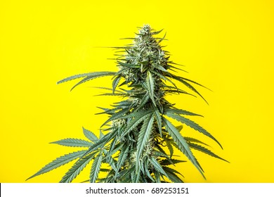 Cannabis plant, flowering buds of marijuana on a yellow background