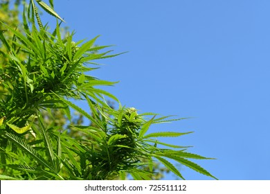 Cannabis plant at flowering stage growing outdoors with blue sky in the background