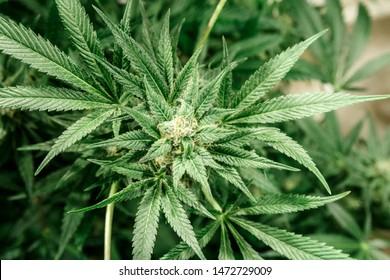 Cannabis Plant Greenhouse Grow Operation Marijuana