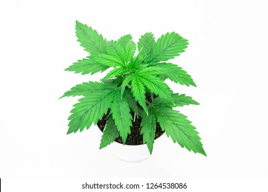 Cannabis Plant Growing. Beautiful background. Marijuana leaves. Close up. Indoor cultivation.