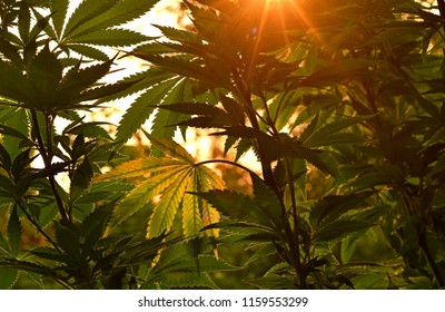Cannabis plant, lit by warm early morning light