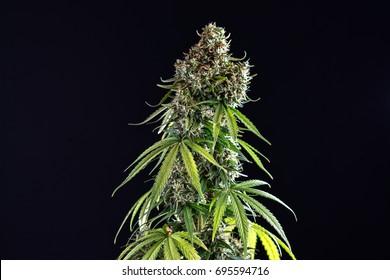 Cannabis plant, marijuana bush in a pot