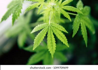 cannabis plant on a black background, marijuana plants, a top view.