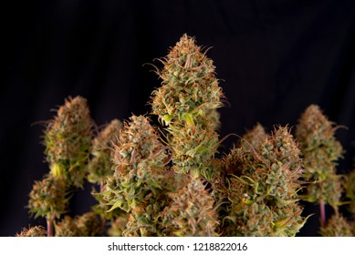 Cannabis plant (Original Pink Gangster marijuana strain) on late flowering stage - isolated over black background