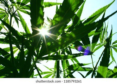 Cannabis plant outdoor view againts the sun