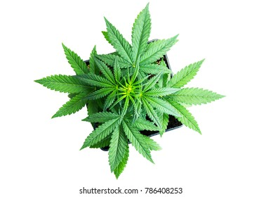 cannabis plant in a pot on a white background, top view. Leaves of marijuana