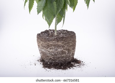 cannabis plant with roots on white background, ready to be replanted, some of the leaves are blurred
