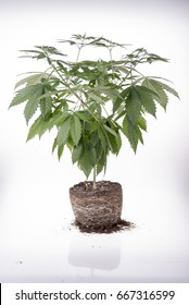 cannabis plant with roots on white background, ready to be replanted