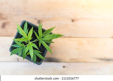 cannabis plant  with wooden background.