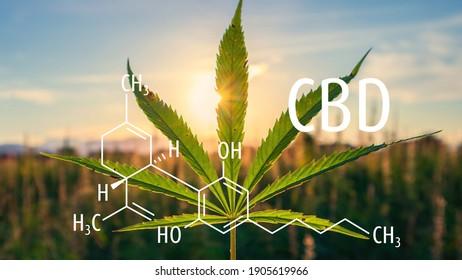 Cannabis plants with the CBD chemical formula. Cannabidiol molecule.