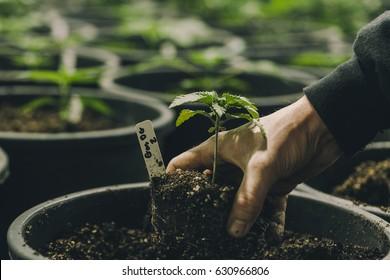 Cannabis Plants In Garden